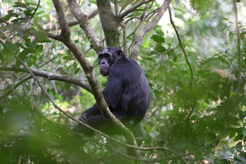Conozcan al los chimpance taringa for Habitat de la vienne chatellerault